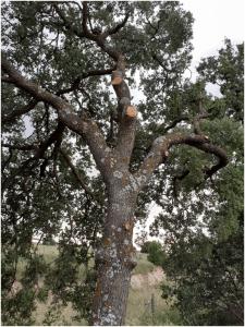Ecologistas en Acción denuncia talas y podas indiscriminadas de Quercus (encinas) en la N-320 a la altura de Valdeluz