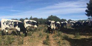 Un total de 39 ganaderos de Guadalajara reciben más de 165.000 euros en ayudas de la PAC para vacuno de cebo