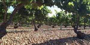 Un total de 66 viticultores de la provincia de Cuenca reciben este viernes el pago de reestructuración del viñedo por importe de más de 709.000 euros