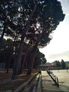 El Ayuntamiento de Cuenca corta los pinos del patio de Educación Infantil del colegio Fuente del Oro por riesgo de caída