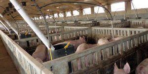 Quintanar del Rey se opone frontalmente a la construcción de una macrogranja de cerdos en La Jara, a 800 metros de su pozo de agua