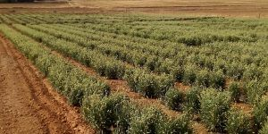 El Gobierno regional financia un proyecto de investigación para la adaptación de la planta del guayule a los suelos de Castilla-La Mancha