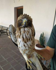El Seprona recupera un pollo de águila calzada en Brihuega
