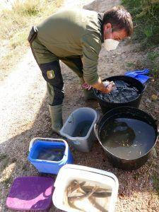 Agentes Medioambientales rescatan más de 60 truchas del canal de una central hidroeléctrica en Guadalajara