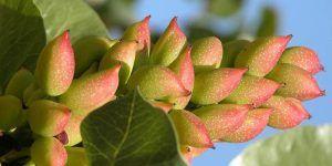 Castilla-La Mancha impulsa la innovación en el sector del pistacho donde es líder nacional en producción con más de 30.000 hectáreas