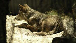 El IREC avanza en prevenir la depredación del ganado por el lobo mediante aversión condicionada a la presa
