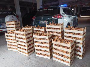 Incautados en dos días 400 kilos de níscalos en Cogolludo e Hita