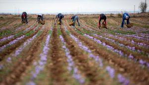 La cosecha 2020 de azafrán amparado bajo la DOP Azafrán de La Mancha finaliza con 451,5 kilogramos