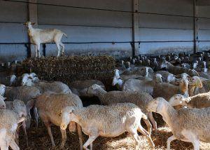 Un total de 225 ganaderos de Guadalajara han recibido más de un millón de euros de las ayudas acopladas del ovino de la PAC