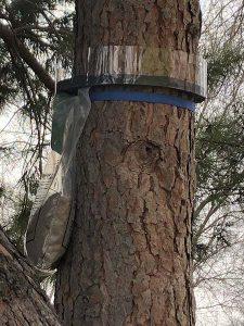 Comienza en Cabanillas la campaña anual contra la procesionaria del pino