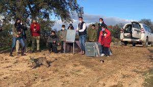 Comienza la suelta de los primeros linces ibéricos en este año 2021 dentro del nuevo programa europeo 'Lynx Connect'