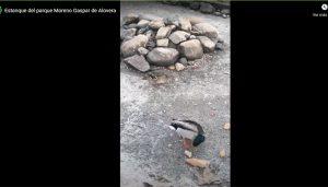 Ecologistas en Acción reclama la eliminación del estanque del parque Moreno Gaspar de Alovera para terminar con el maltrato a los patos