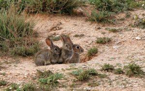Nuevo lío entre PP y PSOE a cuenta de los conejos en Castilla-La Mancha