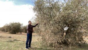El Gobierno regional remarca su compromiso con el sector olivarero de la provincia de Cuenca