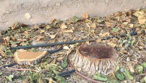 El PP de Tarancón denuncia la tala de árboles indiscriminada en la localidad y pide explicaciones al alcalde por destruir el patrimonio natural del municipio
