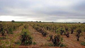 Hora de analizar los daños provocados por la tormenta en las viñas de la Manchuela en el comienzo de la vendimia