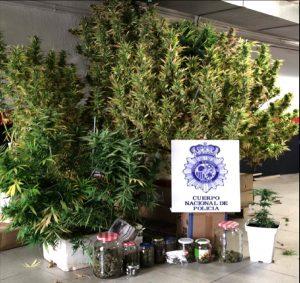 La Policía Nacional detiene a un varón que cultivaba marihuana en las zonas comunitarias de un edificio de Cuenca