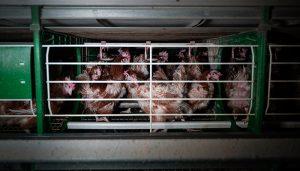 La ONG Equalia denuncia a una empresa avícola de Guadalajara por maltrato animal